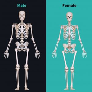 Female anatomy vs male anatomy